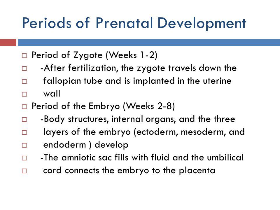 Periods of Prenatal Development