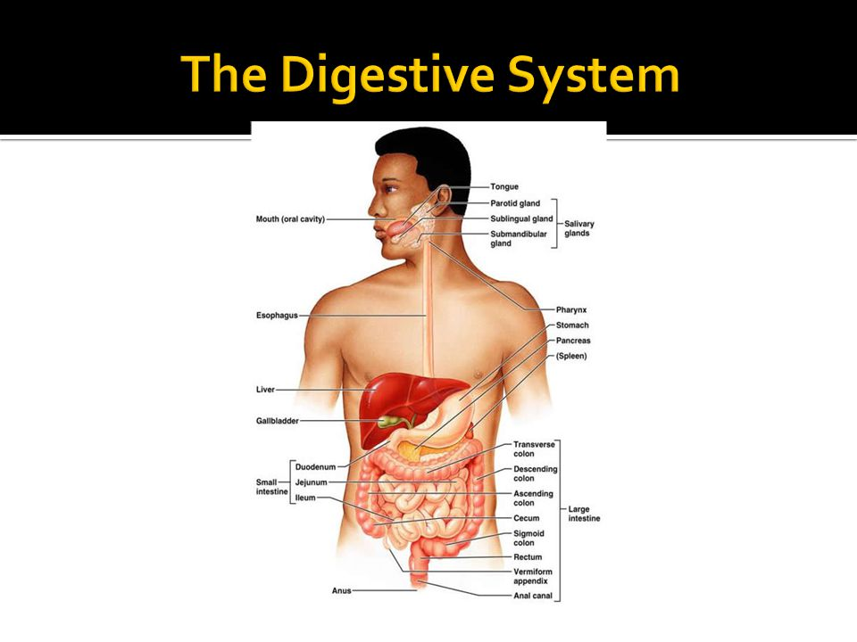 The Digestive System Majority of worms are found in the small intestines, where they mature into adult worms.