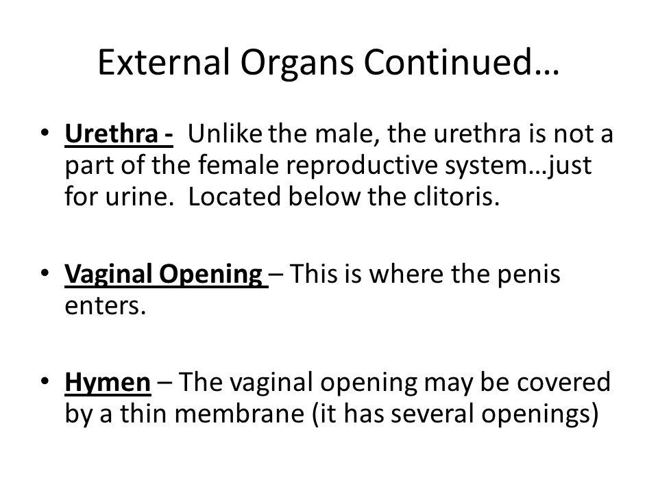 External Organs Continued…