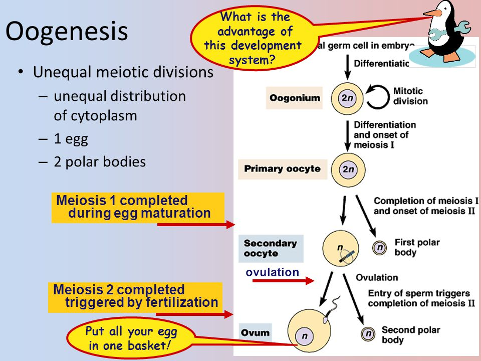 Oogenesis Unequal meiotic divisions unequal distribution of cytoplasm