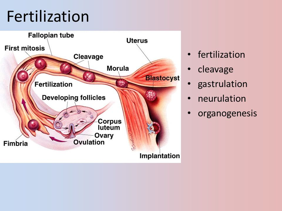 Fertilization fertilization cleavage gastrulation neurulation
