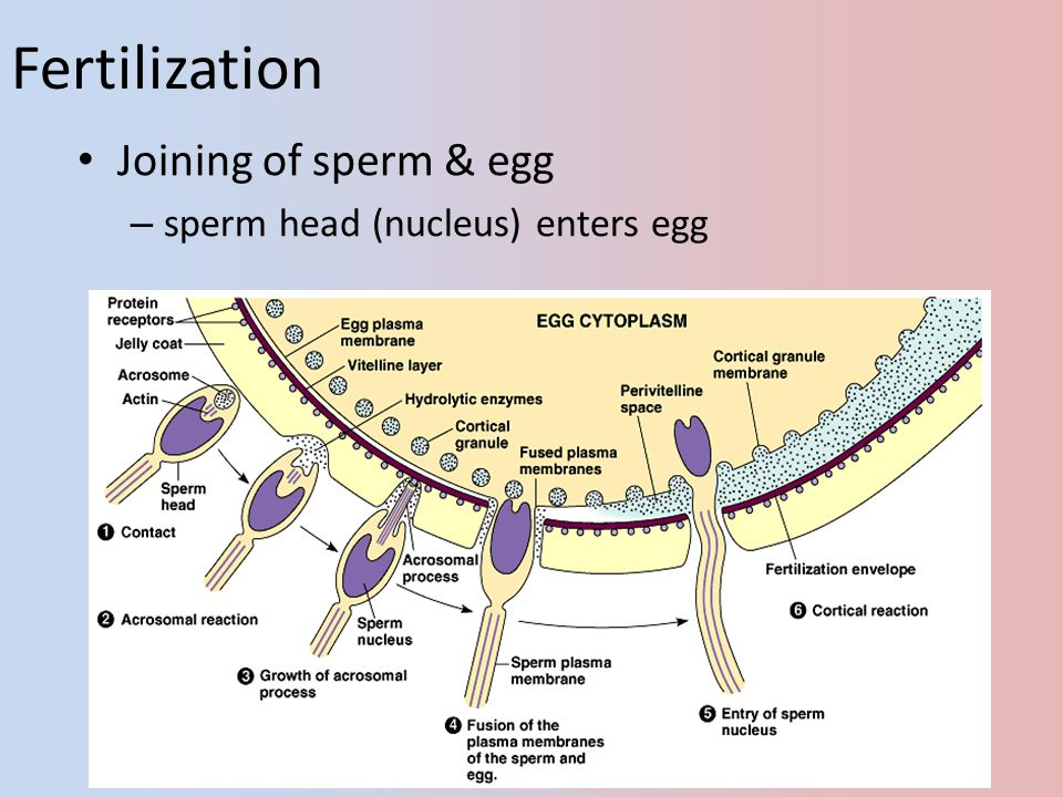 Fertilization Joining of sperm & egg sperm head (nucleus) enters egg