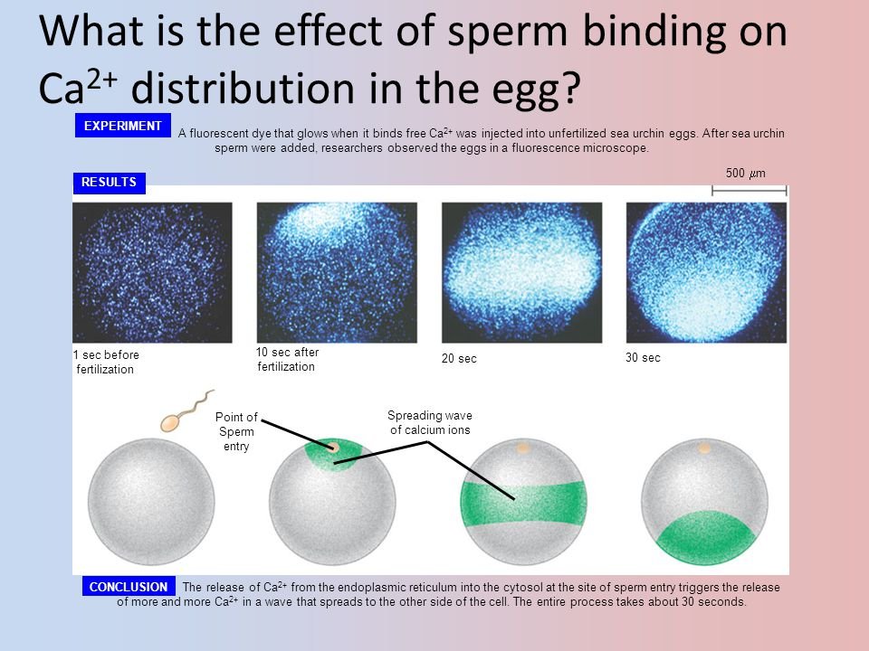 What is the effect of sperm binding on Ca2+ distribution in the egg