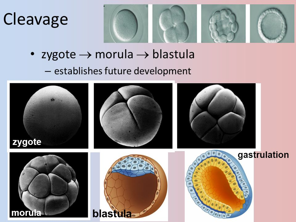 Cleavage zygote  morula  blastula establishes future development