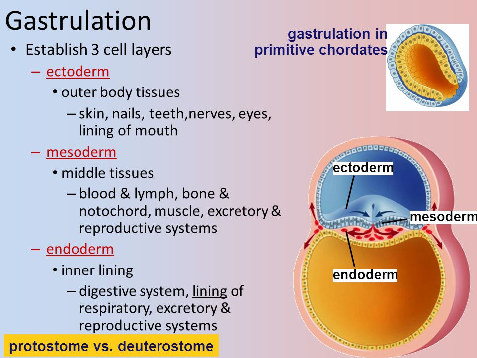 Gastrulation Establish 3 cell layers ectoderm outer body tissues