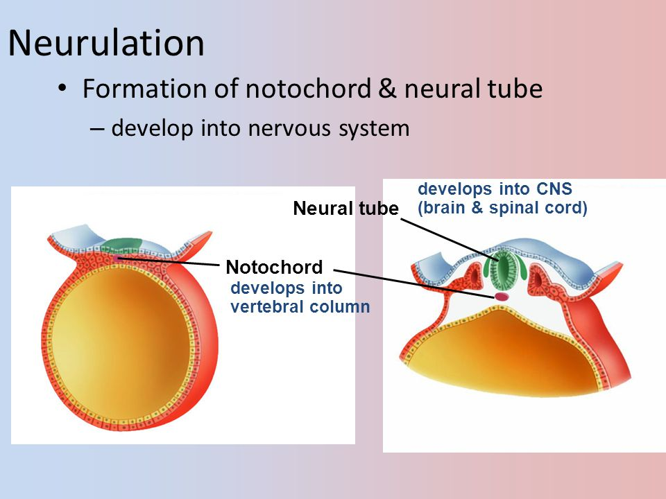 Neurulation Formation of notochord & neural tube
