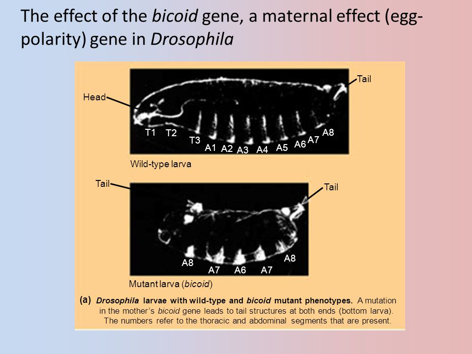 The effect of the bicoid gene, a maternal effect (egg-polarity) gene in Drosophila