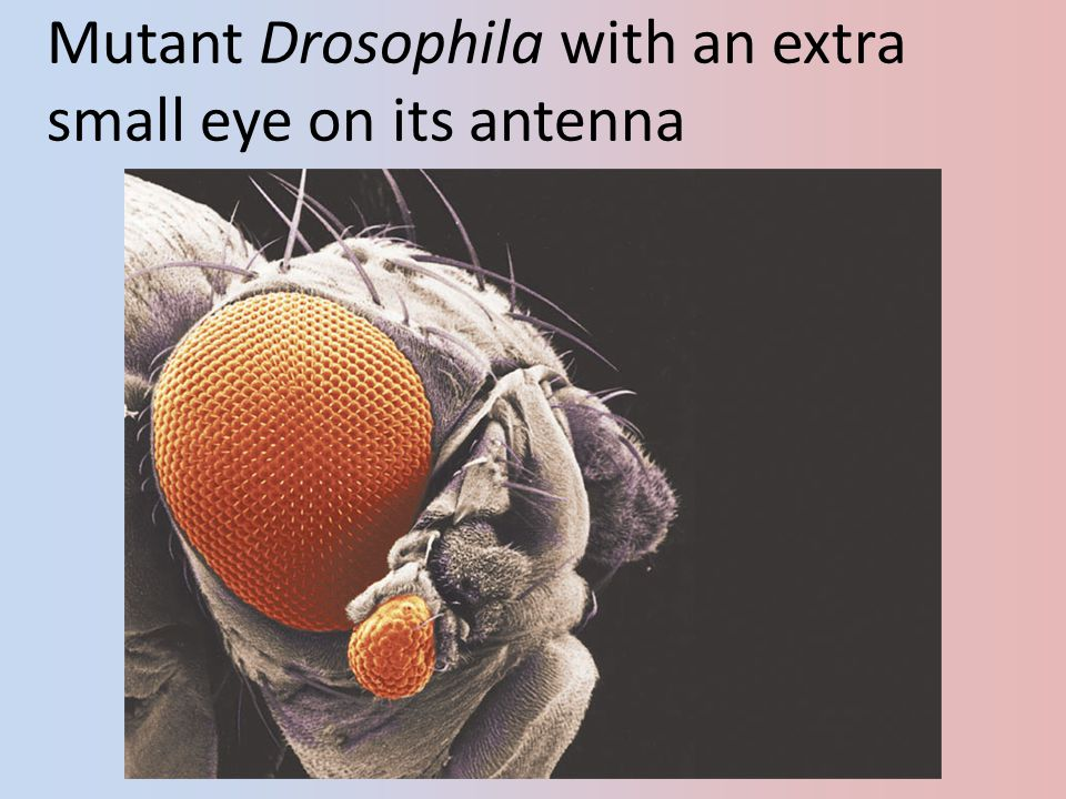 Mutant Drosophila with an extra small eye on its antenna