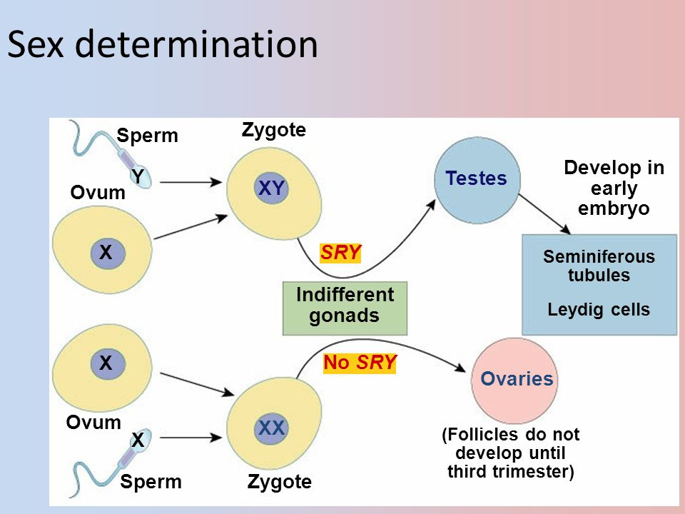 Sex determination Zygote Sperm Develop in early embryo Y Testes Ovum