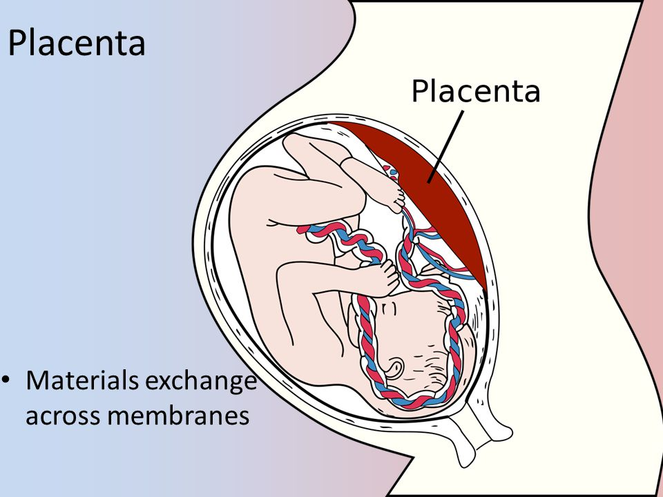 Placenta Materials exchange across membranes