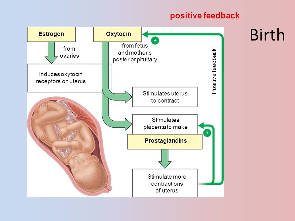 Birth positive feedback Estrogen Oxytocin from ovaries from fetus