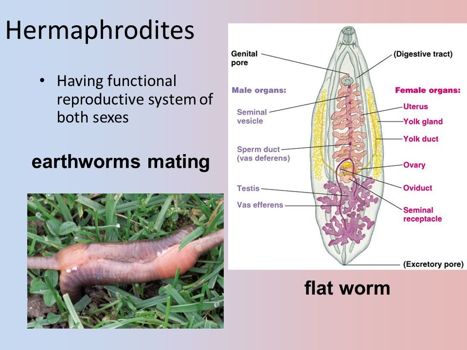 Hermaphrodites earthworms mating flat worm