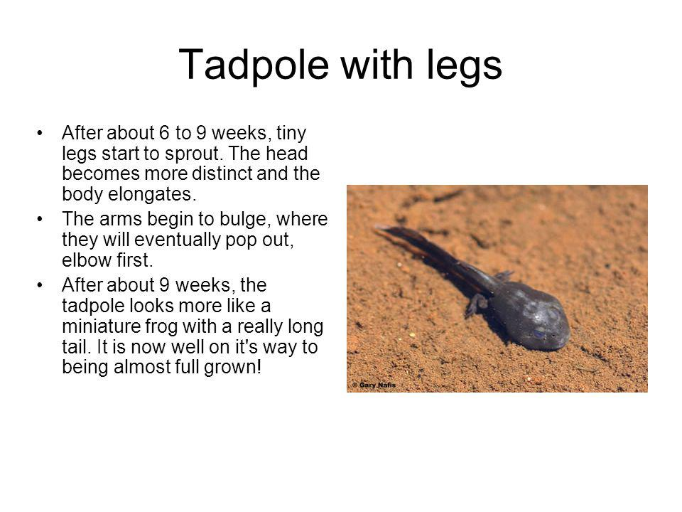 Tadpole with legs After about 6 to 9 weeks, tiny legs start to sprout. The head becomes more distinct and the body elongates.