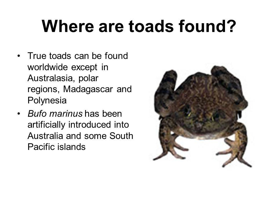 Where are toads found True toads can be found worldwide except in Australasia, polar regions, Madagascar and Polynesia.