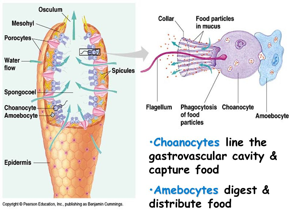 Choanocytes line the gastrovascular cavity & capture food