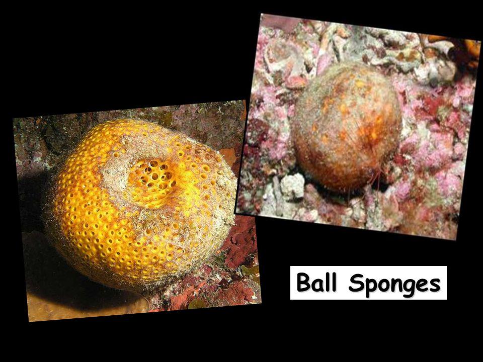 Ball Sponges