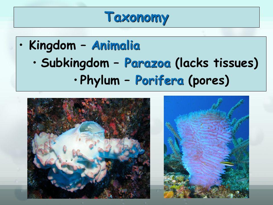 Taxonomy Kingdom – Animalia Subkingdom – Parazoa (lacks tissues)