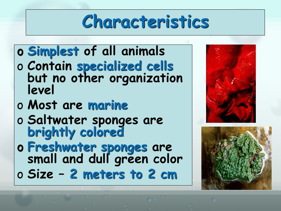 Characteristics Simplest of all animals