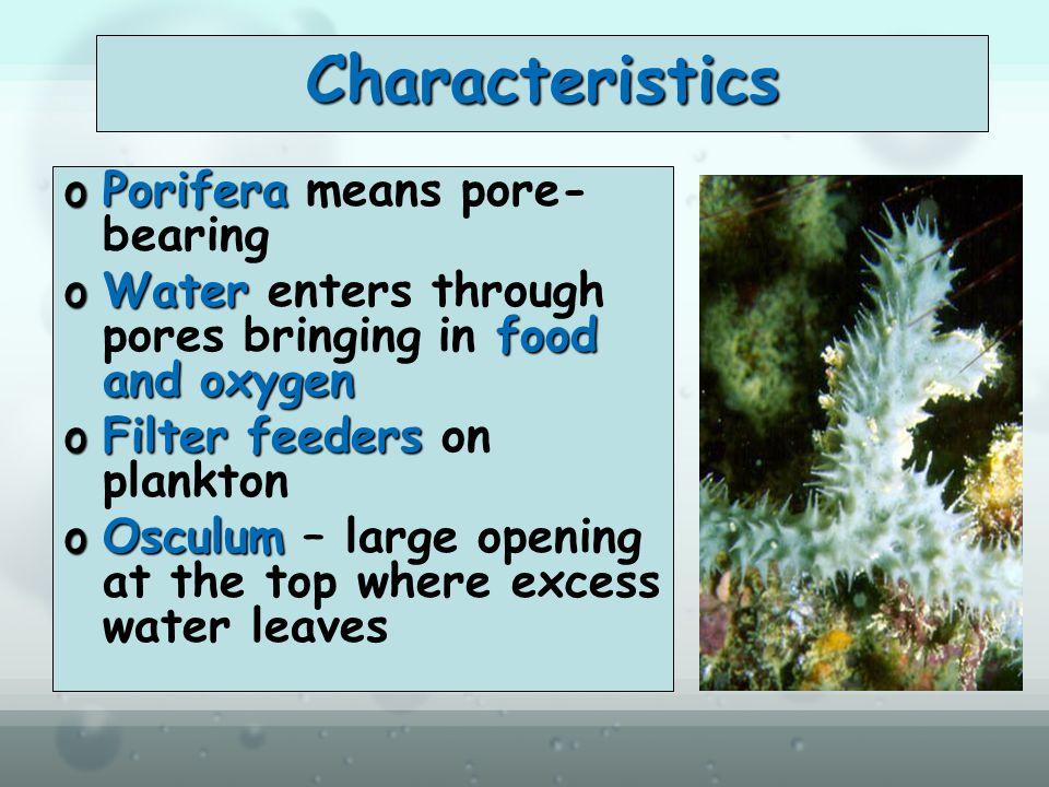 Characteristics Porifera means pore-bearing