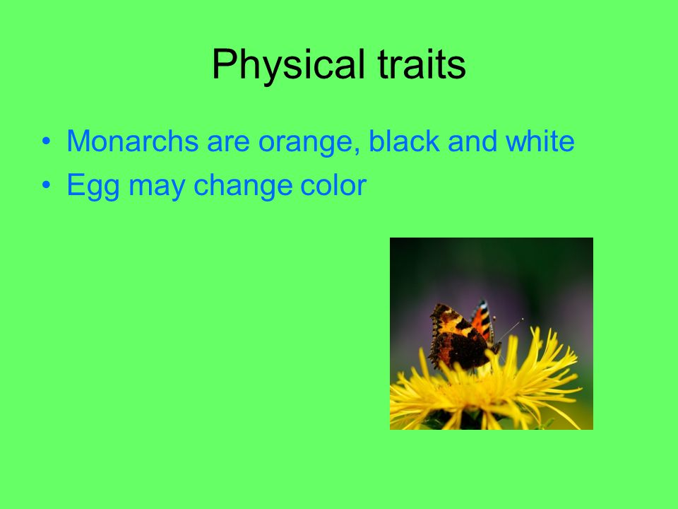 Physical traits Monarchs are orange, black and white