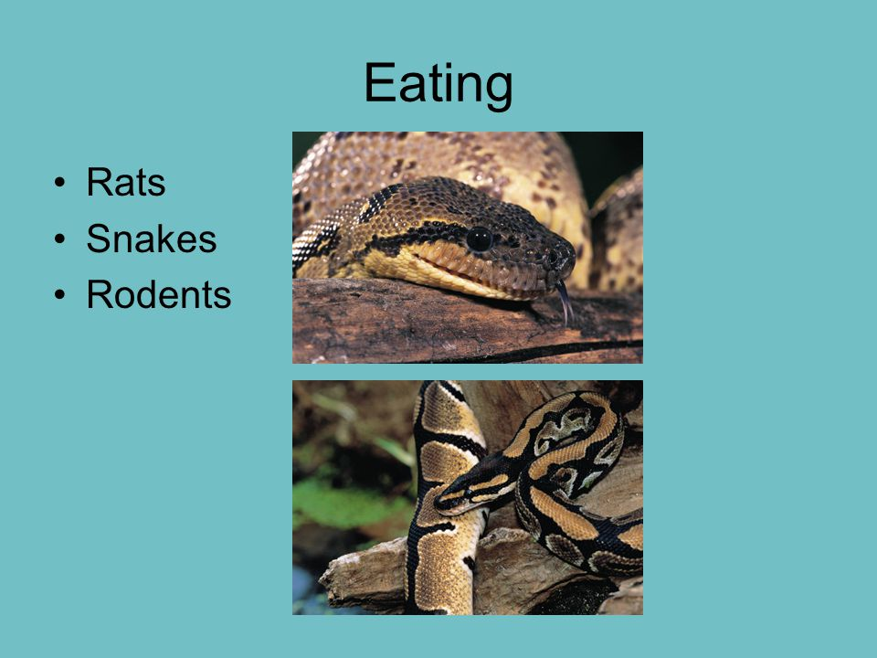 Eating Rats Snakes Rodents
