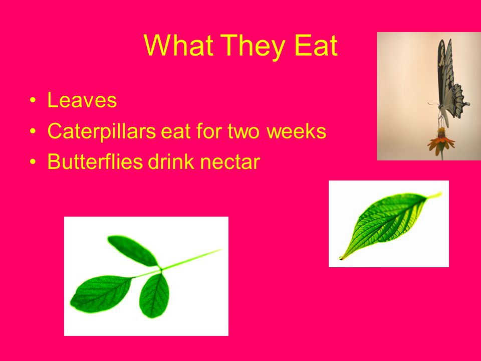 What They Eat Leaves Caterpillars eat for two weeks
