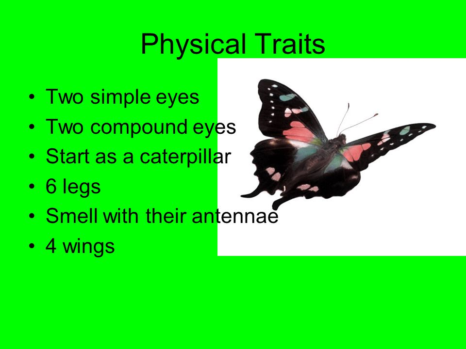 Physical Traits Two simple eyes Two compound eyes