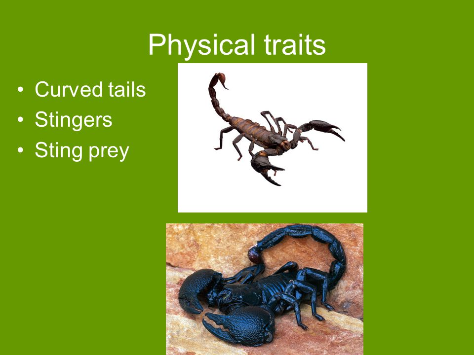 Physical traits Curved tails Stingers Sting prey