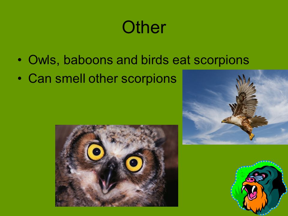 Other Owls, baboons and birds eat scorpions Can smell other scorpions