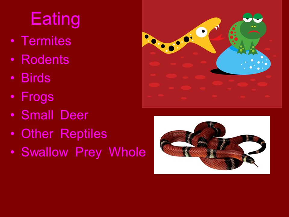 Eating Termites Rodents Birds Frogs Small Deer Other Reptiles