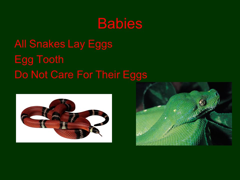 Babies All Snakes Lay Eggs Egg Tooth Do Not Care For Their Eggs