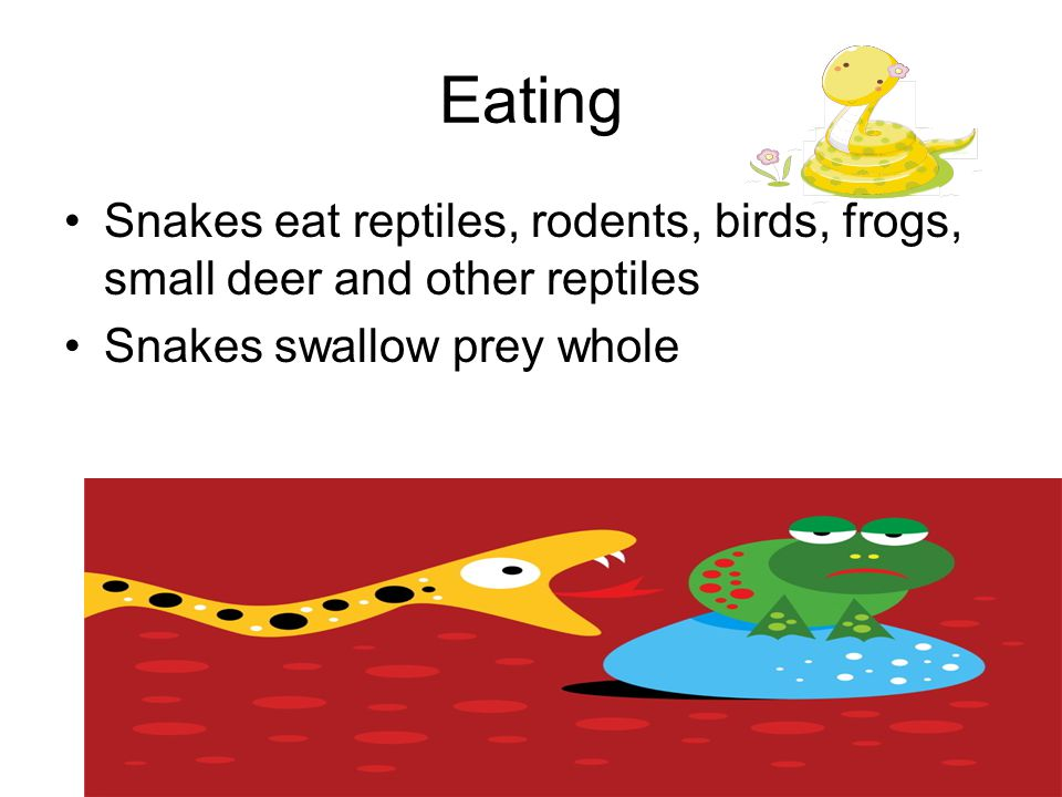 Eating Snakes eat reptiles, rodents, birds, frogs, small deer and other reptiles.
