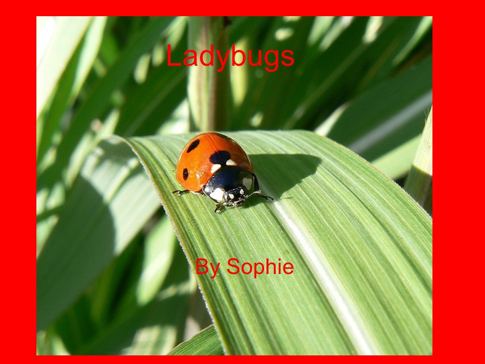 Ladybugs By Sophie