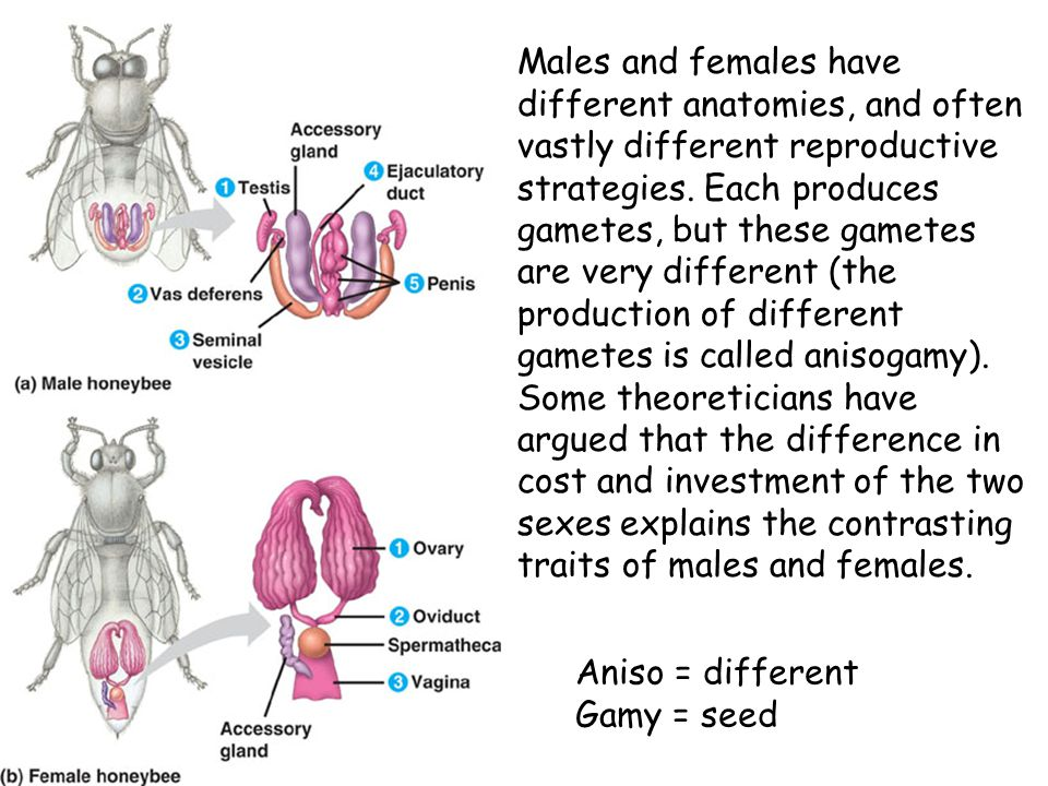 Males and females have different anatomies, and often vastly different reproductive strategies. Each produces gametes, but these gametes are very different (the production of different gametes is called anisogamy). Some theoreticians have argued that the difference in cost and investment of the two sexes explains the contrasting traits of males and females.