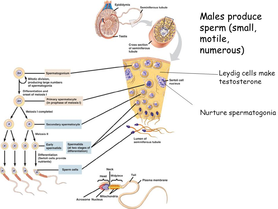 Males produce sperm (small, motile, numerous)