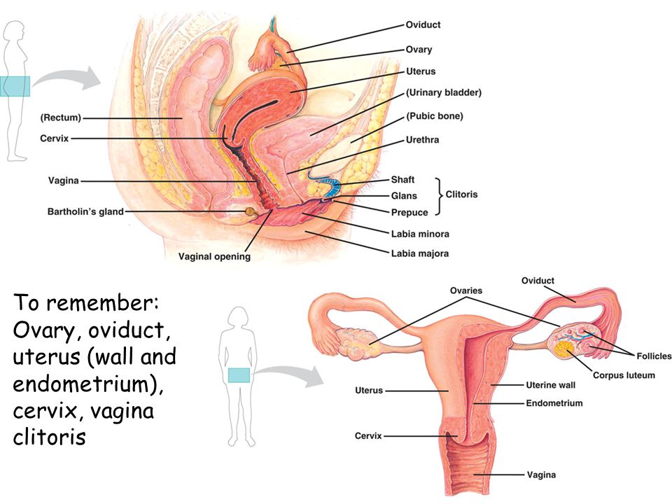 To remember: Ovary, oviduct, uterus (wall and endometrium), cervix, vagina