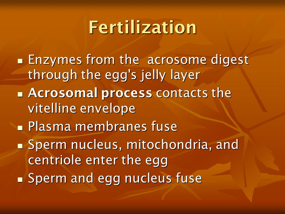 Fertilization Enzymes from the acrosome digest through the egg s jelly layer. Acrosomal process contacts the vitelline envelope.