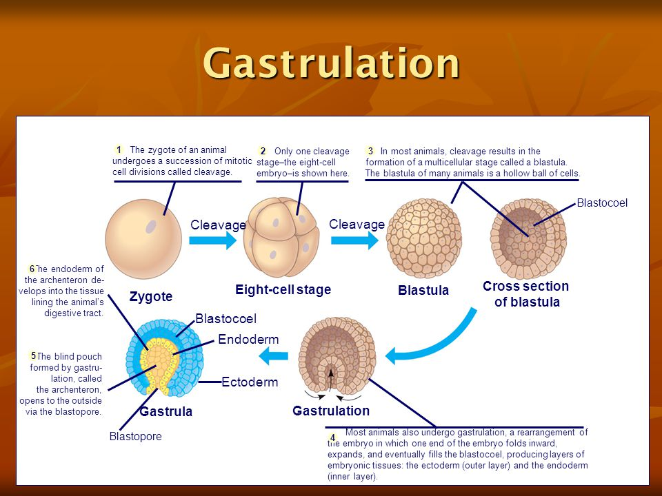 Diagram How An Animal Zygote Becomes A Gastrula Choice ...