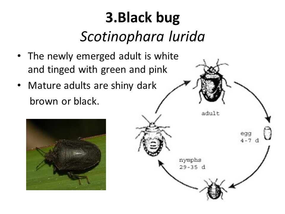 3.Black bug Scotinophara lurida