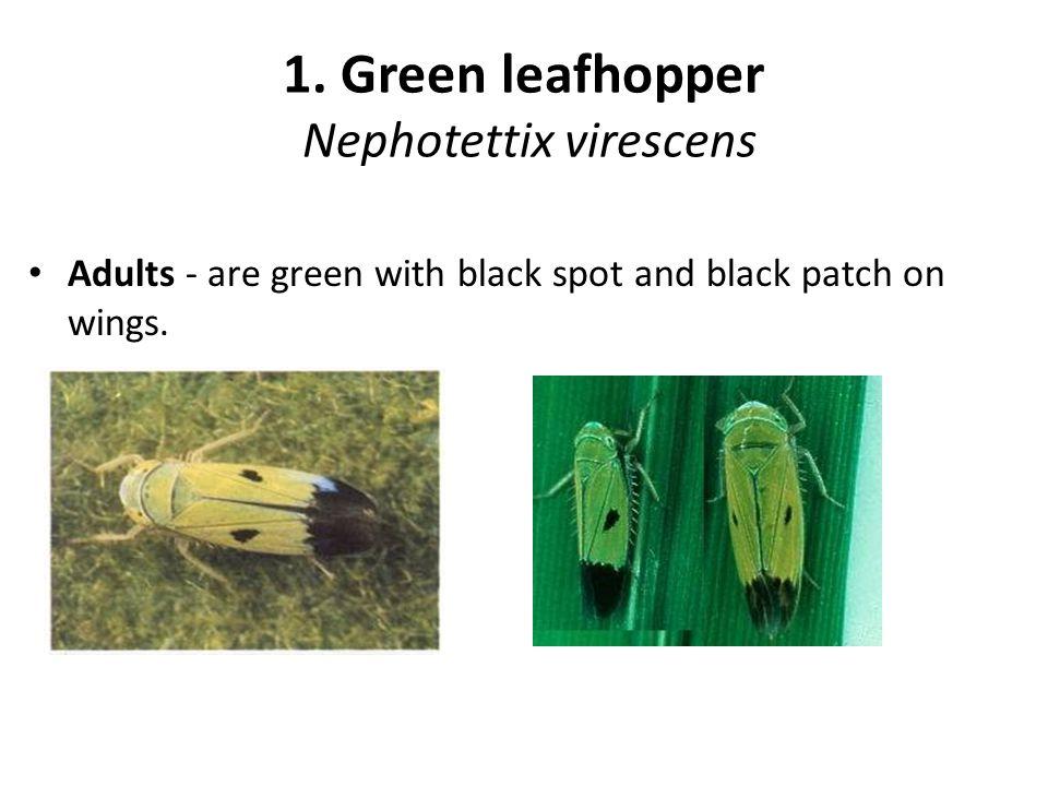 1. Green leafhopper Nephotettix virescens