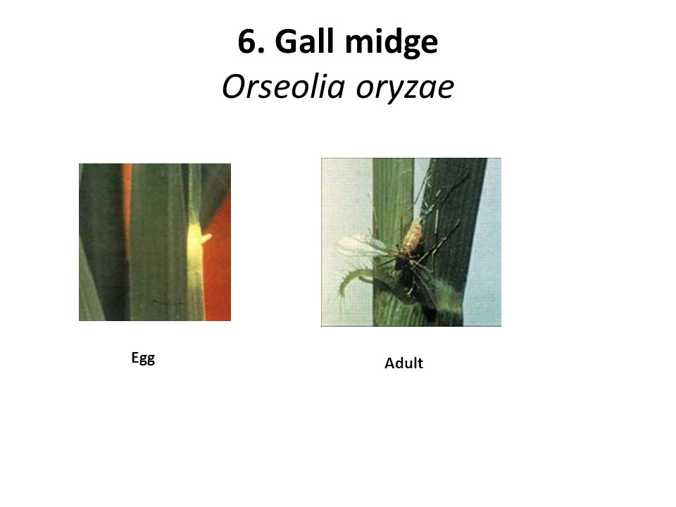 6. Gall midge Orseolia oryzae