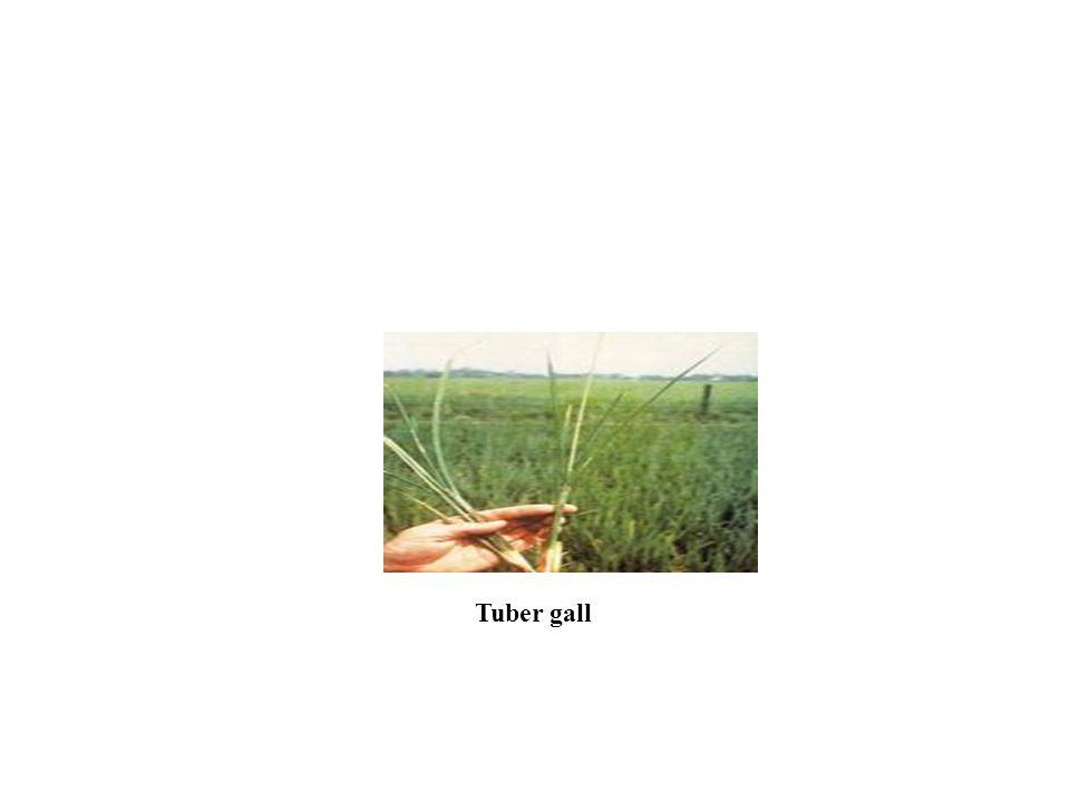 Tuber gall