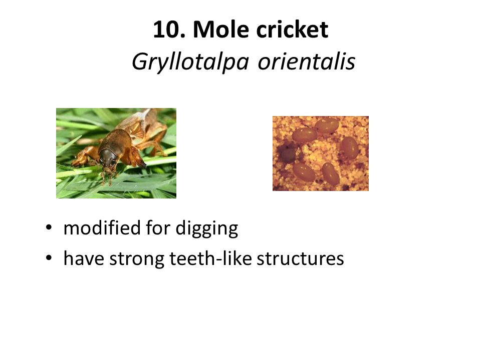 10. Mole cricket Gryllotalpa orientalis