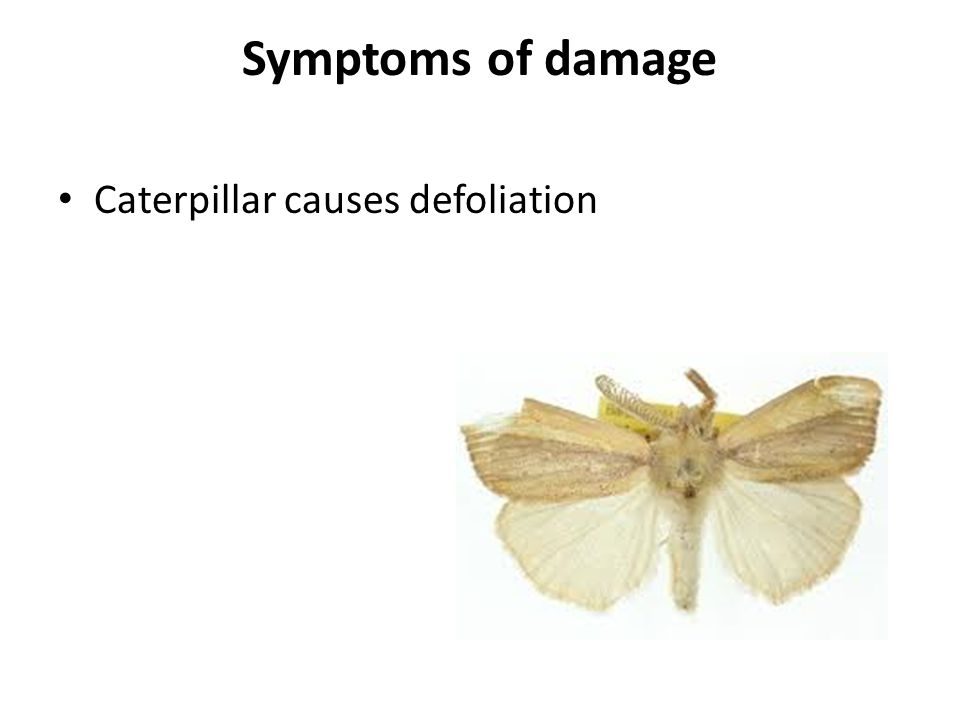 Symptoms of damage Caterpillar causes defoliation