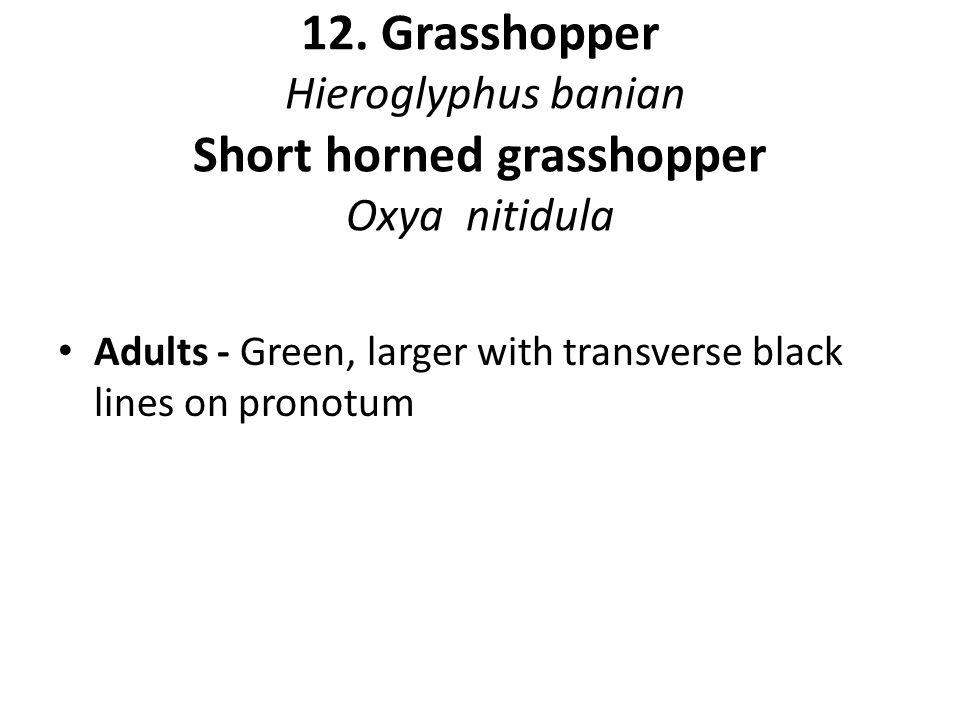 12. Grasshopper Hieroglyphus banian Short horned grasshopper Oxya nitidula