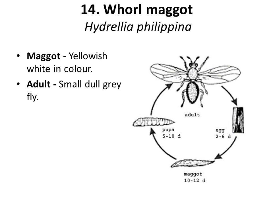 14. Whorl maggot Hydrellia philippina