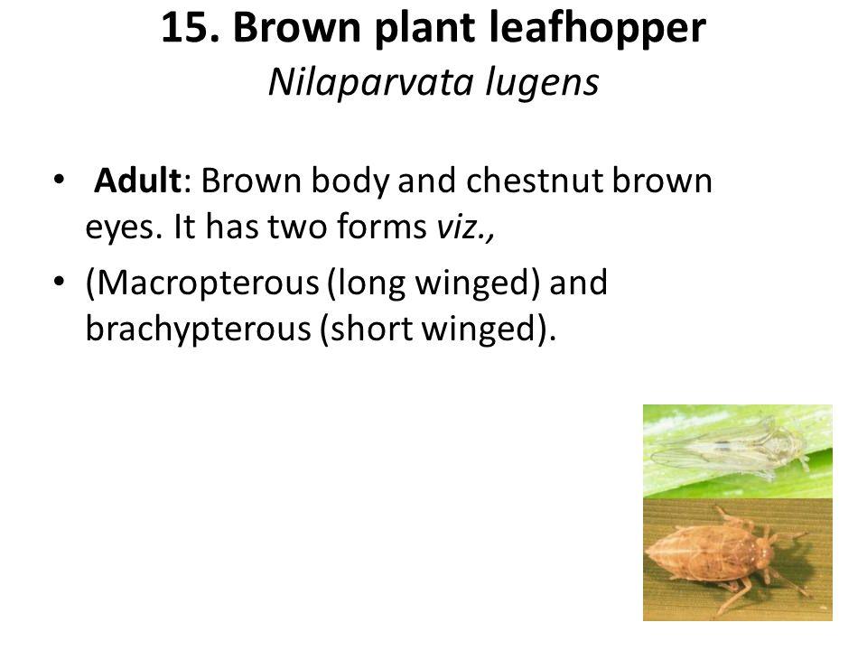 15. Brown plant leafhopper Nilaparvata lugens