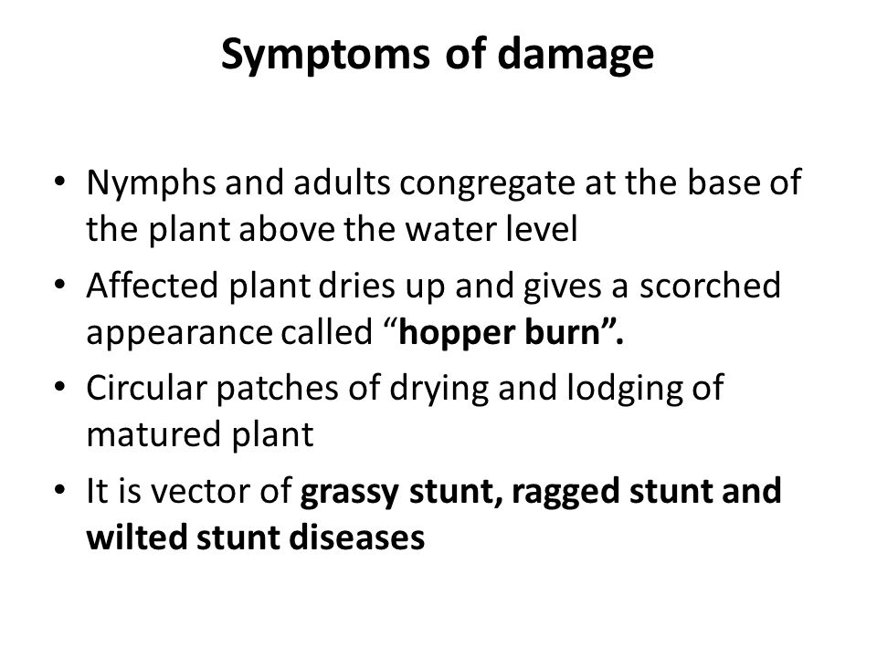 Symptoms of damage Nymphs and adults congregate at the base of the plant above the water level.