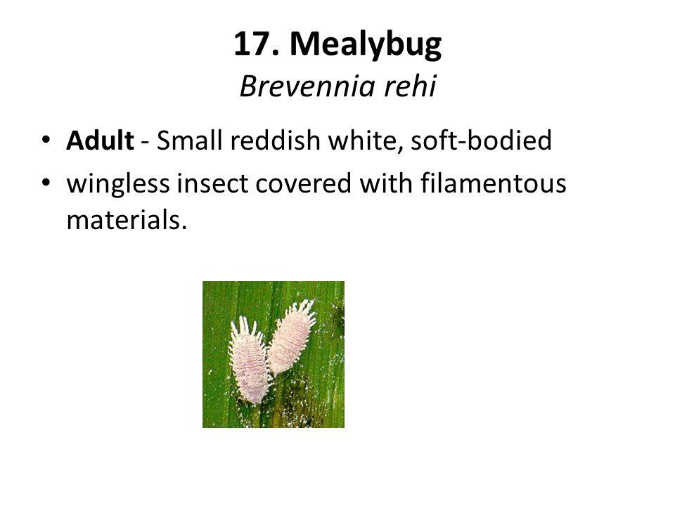 17. Mealybug Brevennia rehi