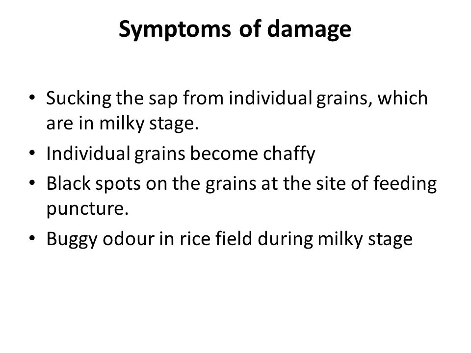 Symptoms of damage Sucking the sap from individual grains, which are in milky stage. Individual grains become chaffy.
